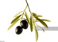 branche-olivier
